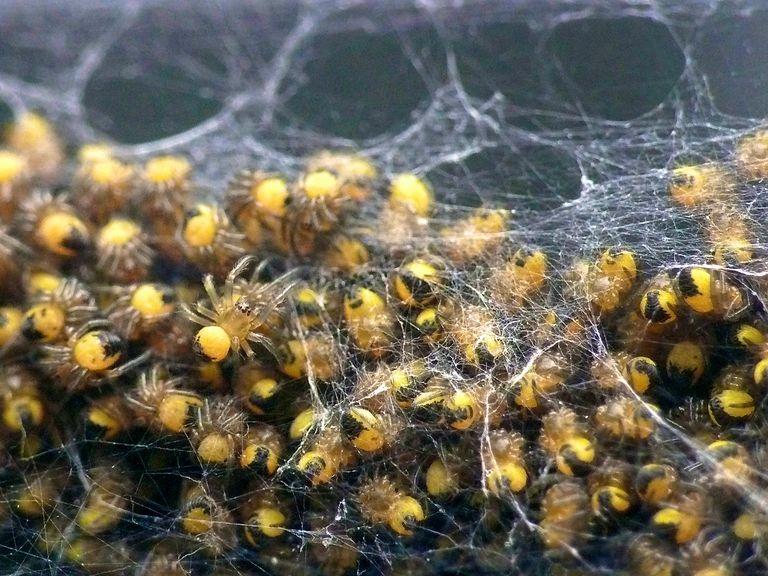 Spiderlings.