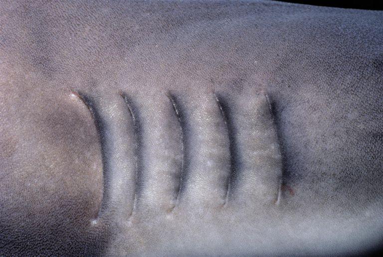 Gills of Whitetip Reef Shark