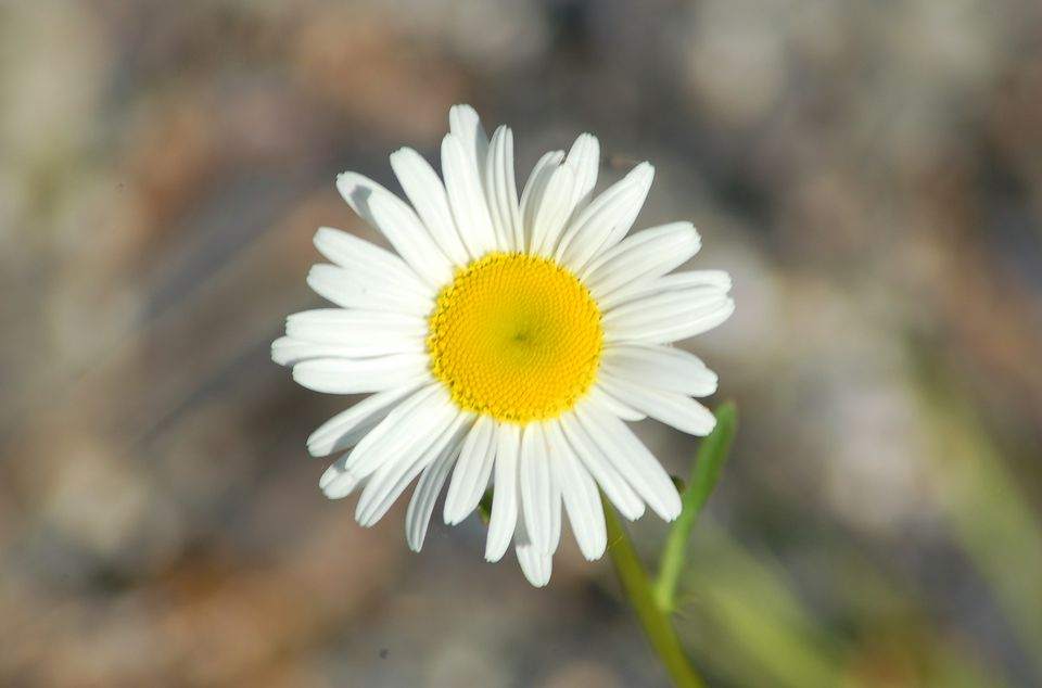Becky shasta daisy (image) has a gold center and white rays. It brings cheer to a yard.