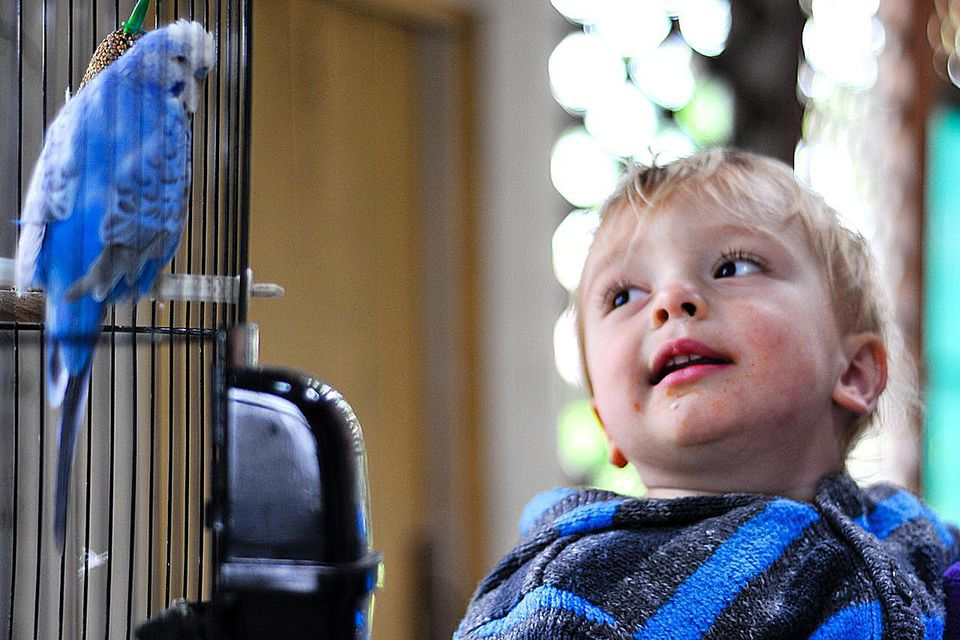 Little boy gazes at blue budgerigar.