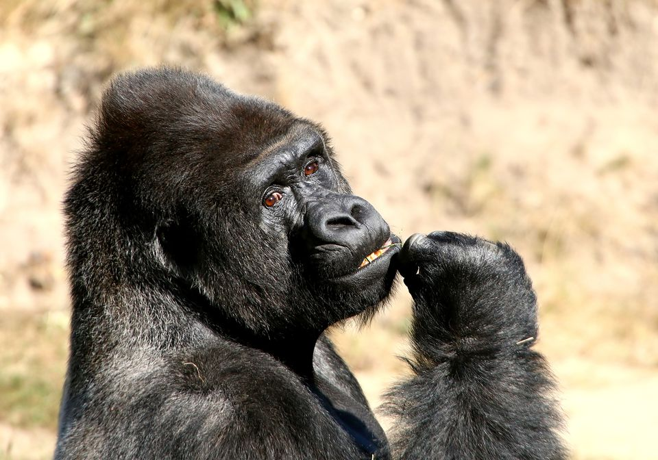 Mature male Silveback gorilla looking at the camera, picking his teeth.