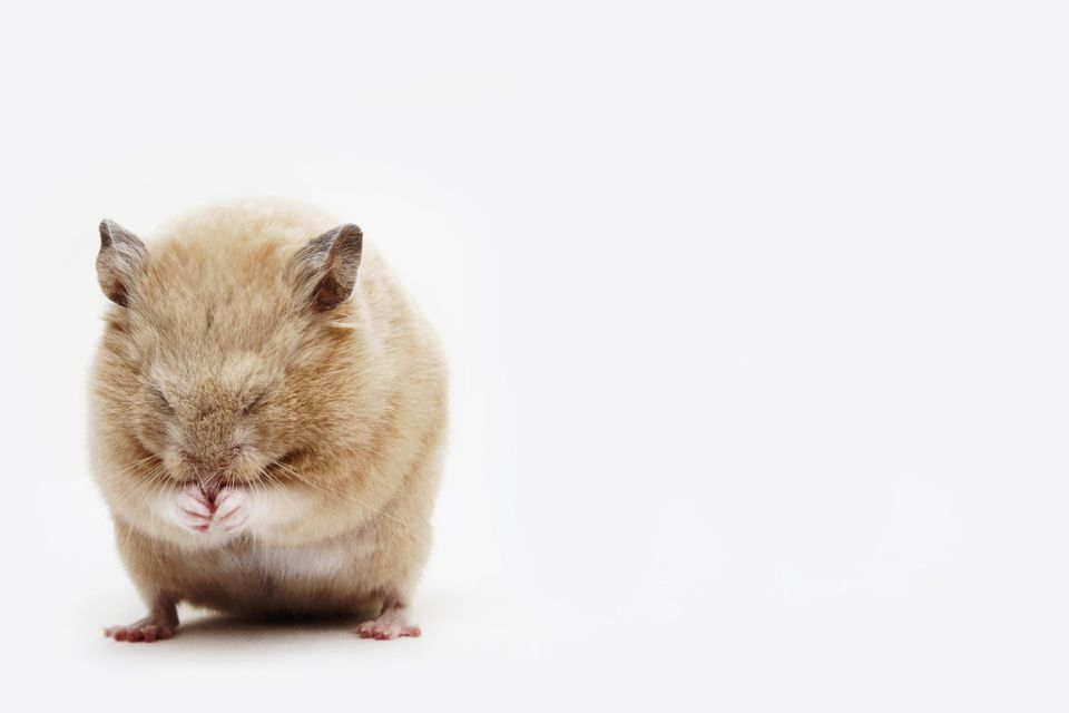 Hamster curled into a ball on a white background