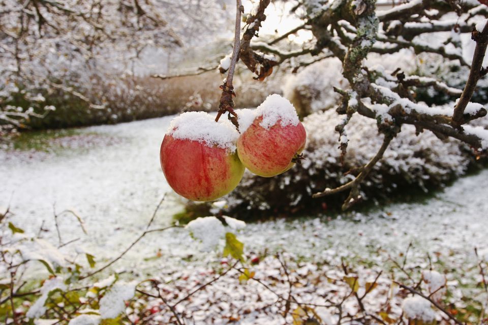Apples for Ice Cider