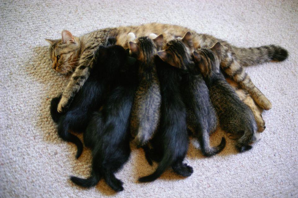Photo of Kittens Nursing