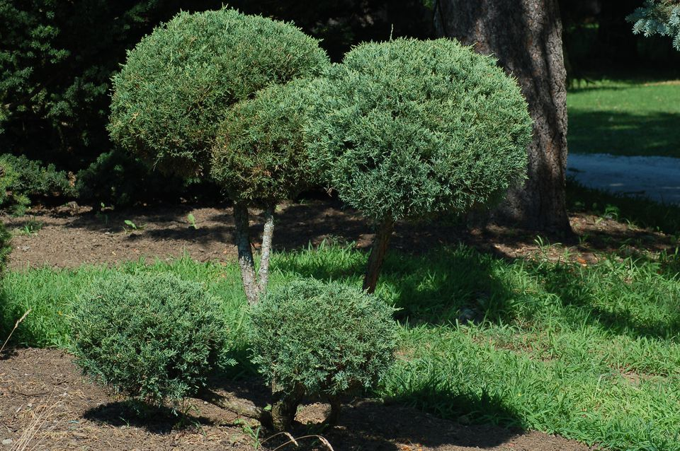 Blue Pfitzer juniper shrub sheared into pom-poms.