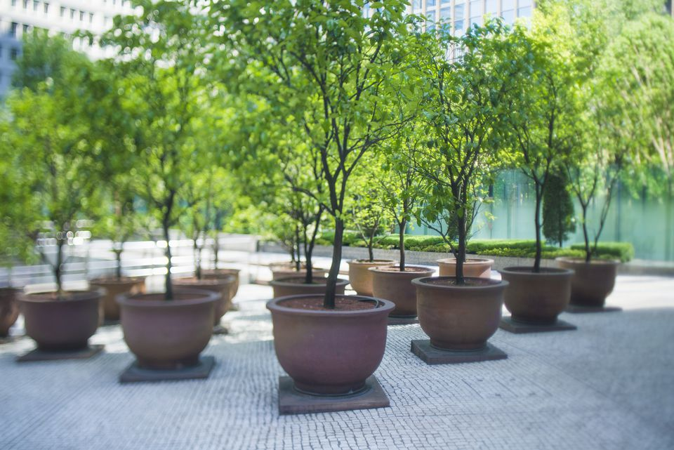 growing potted trees