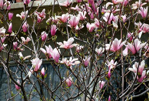 Heaven Scent magnolia trees are sometimes misspelled 'Heaven Sent' magnolia tree.
