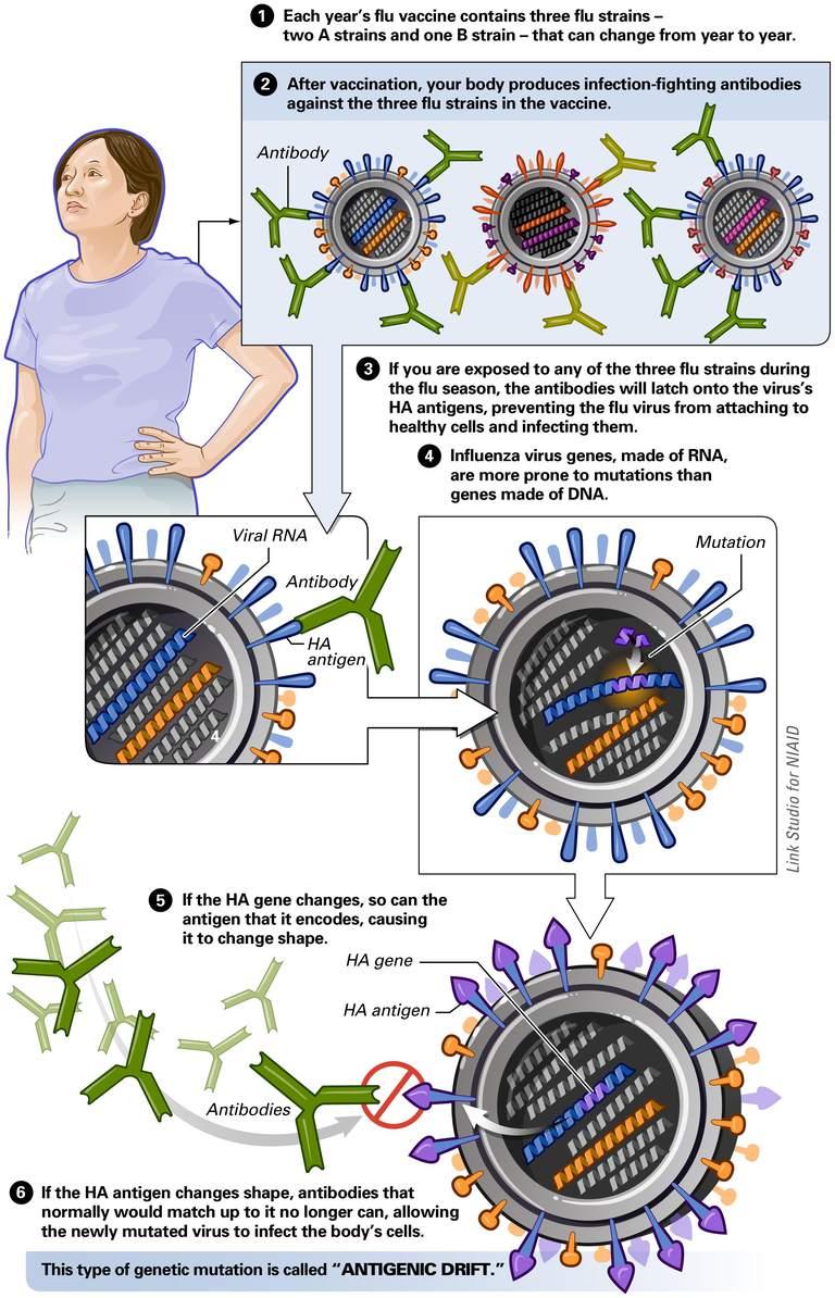Antigenic Drift And Shift With The Flu Virus
