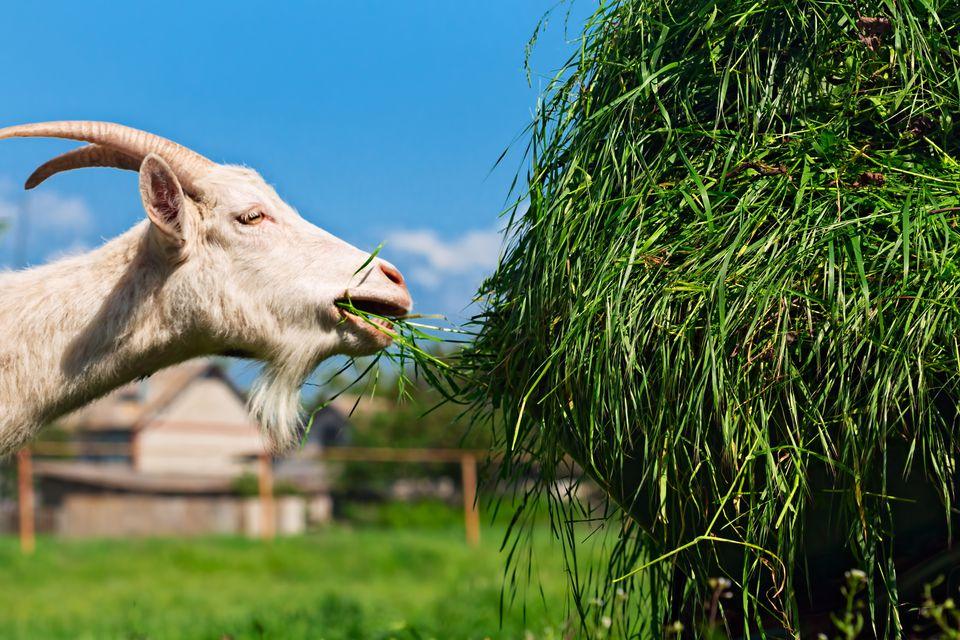 Goat feeding grass
