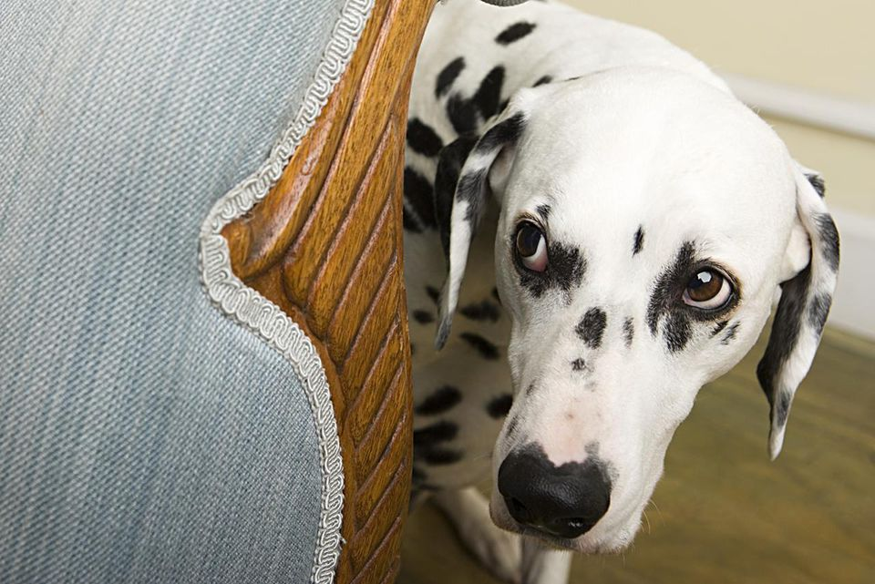 Dalmation by a chair