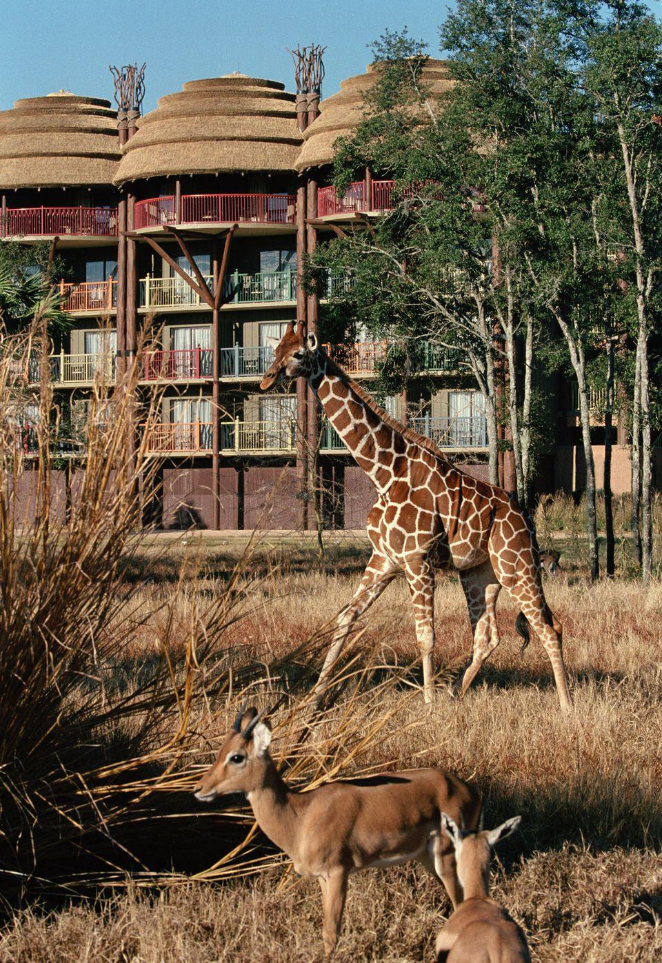 Giraffe and other exotic animals roaming savanah at Disney's Animal Kingdom Lodge.
