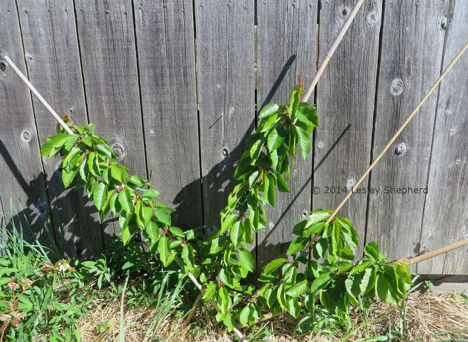 First stages in fan pruning a cherry tree using stakes and wires against a wall.