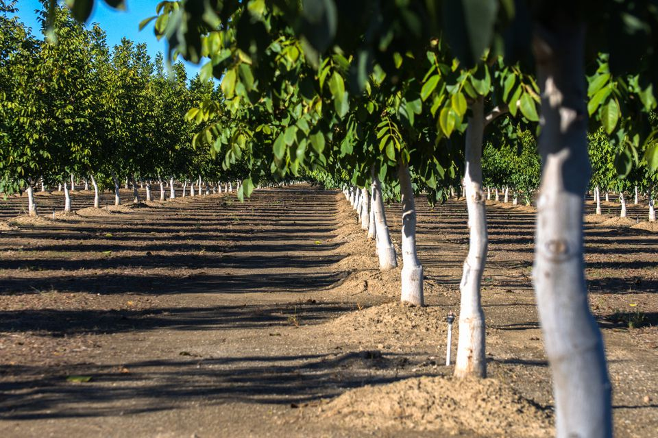 Lines of California walnut trees in orchard