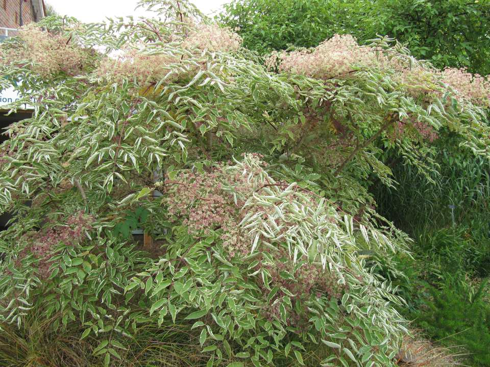 This is a variegated cultivar of the Japanese angelica tree