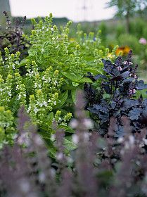 basil-flowers.jpg
