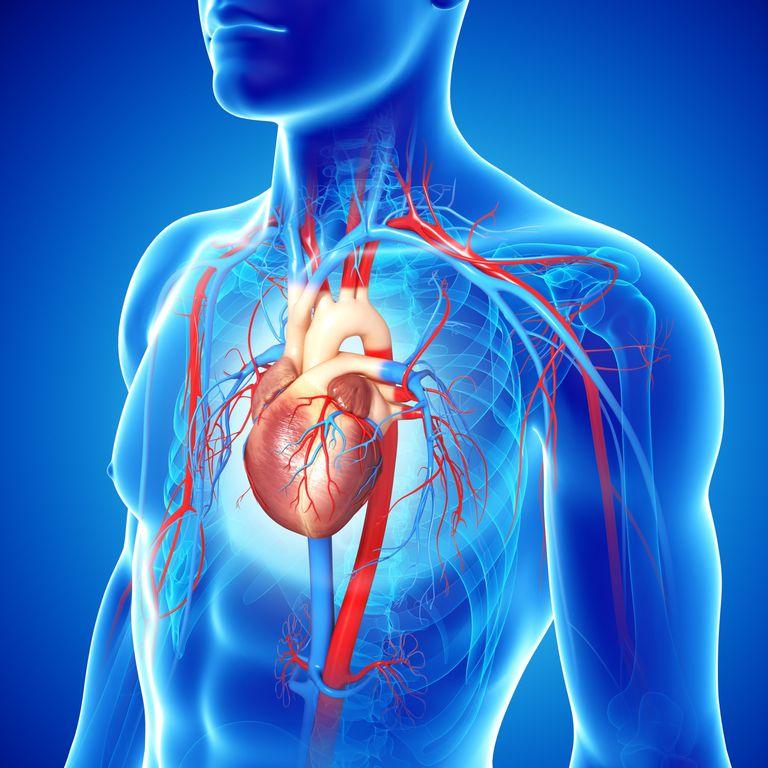 Arteria aorta, arteria aorta funciones