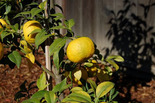 The yuzu is used in Asian foods and drinks