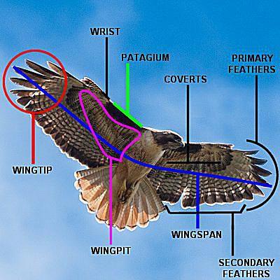 Bird Wing Parts