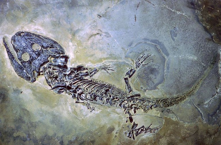 Fossil of an amphibian.