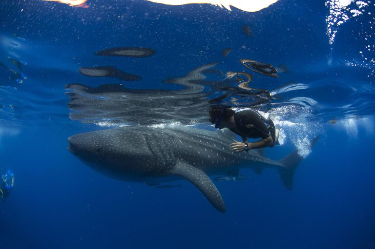 Diver and whale shark (Rhincodon typus)