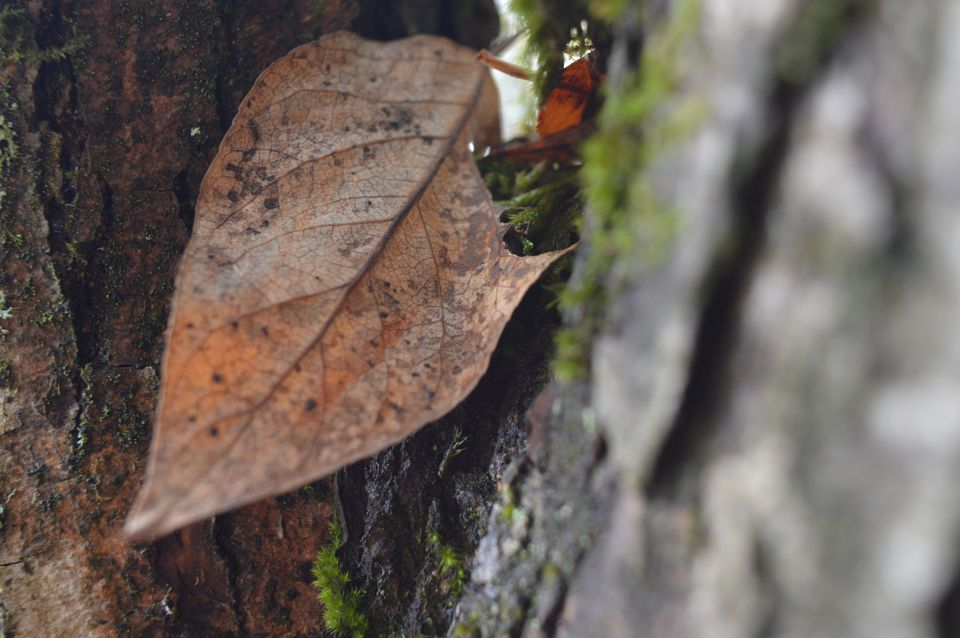 Close-Up Of Dry Leaf On Tree Trunk