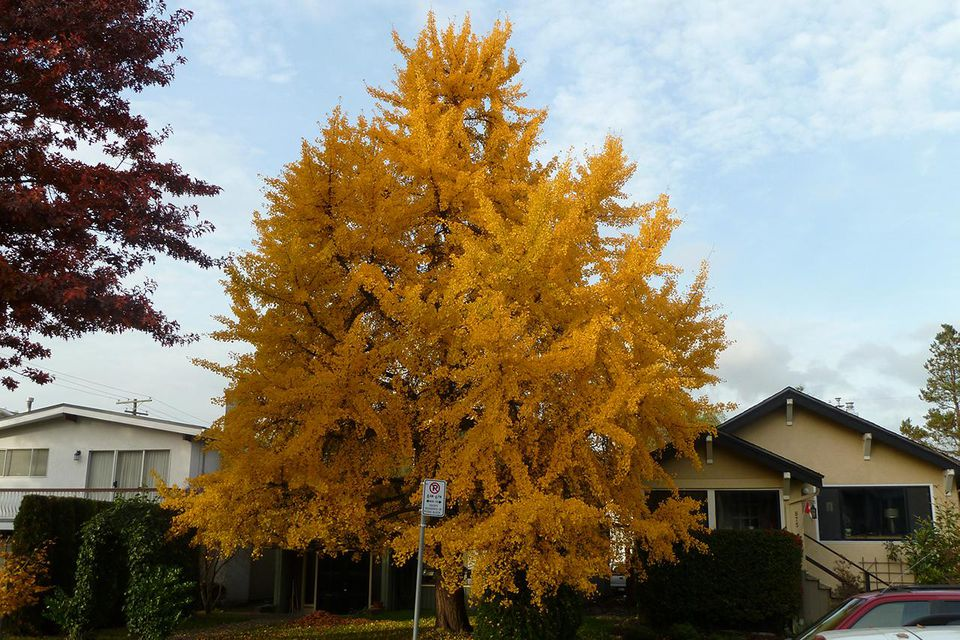 Ginkgo biloba, female, on 19th east of Laurel