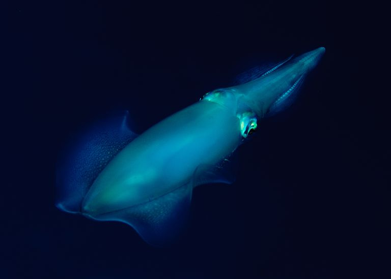 Many species of squid, like this bigfin reef squid, have photophores that provide light.