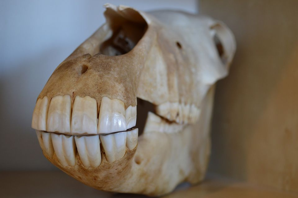 Front teeth of horse in skull.