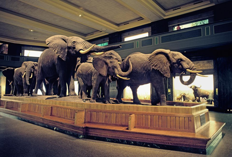 USA, New York State, New York, elephants in Museum Of National History