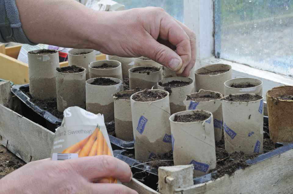 Gardener sowing carrot seed in recycled carboard tubes, April