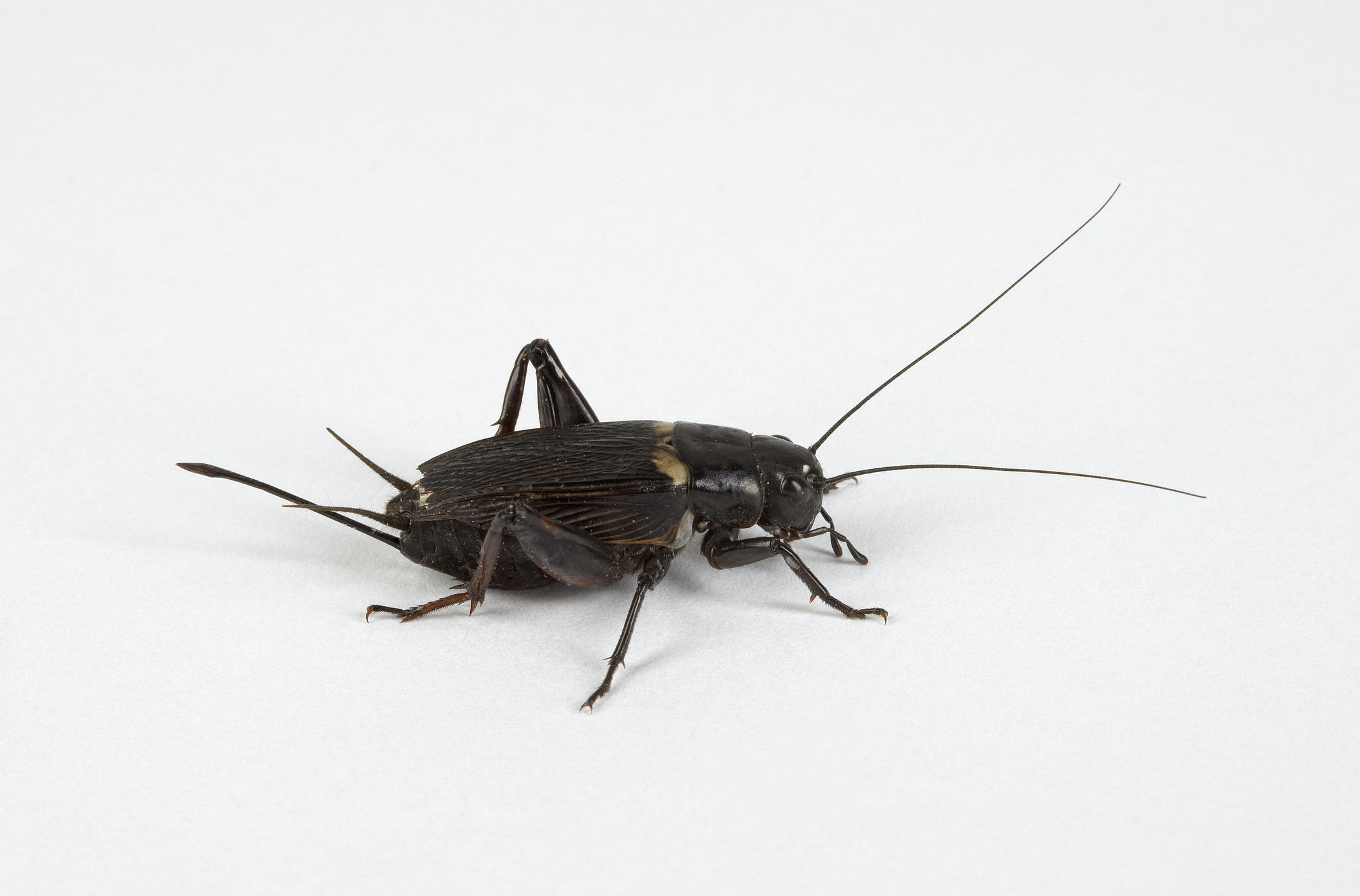 Why do crickets stop chirping when you approach buycottarizona Image collections