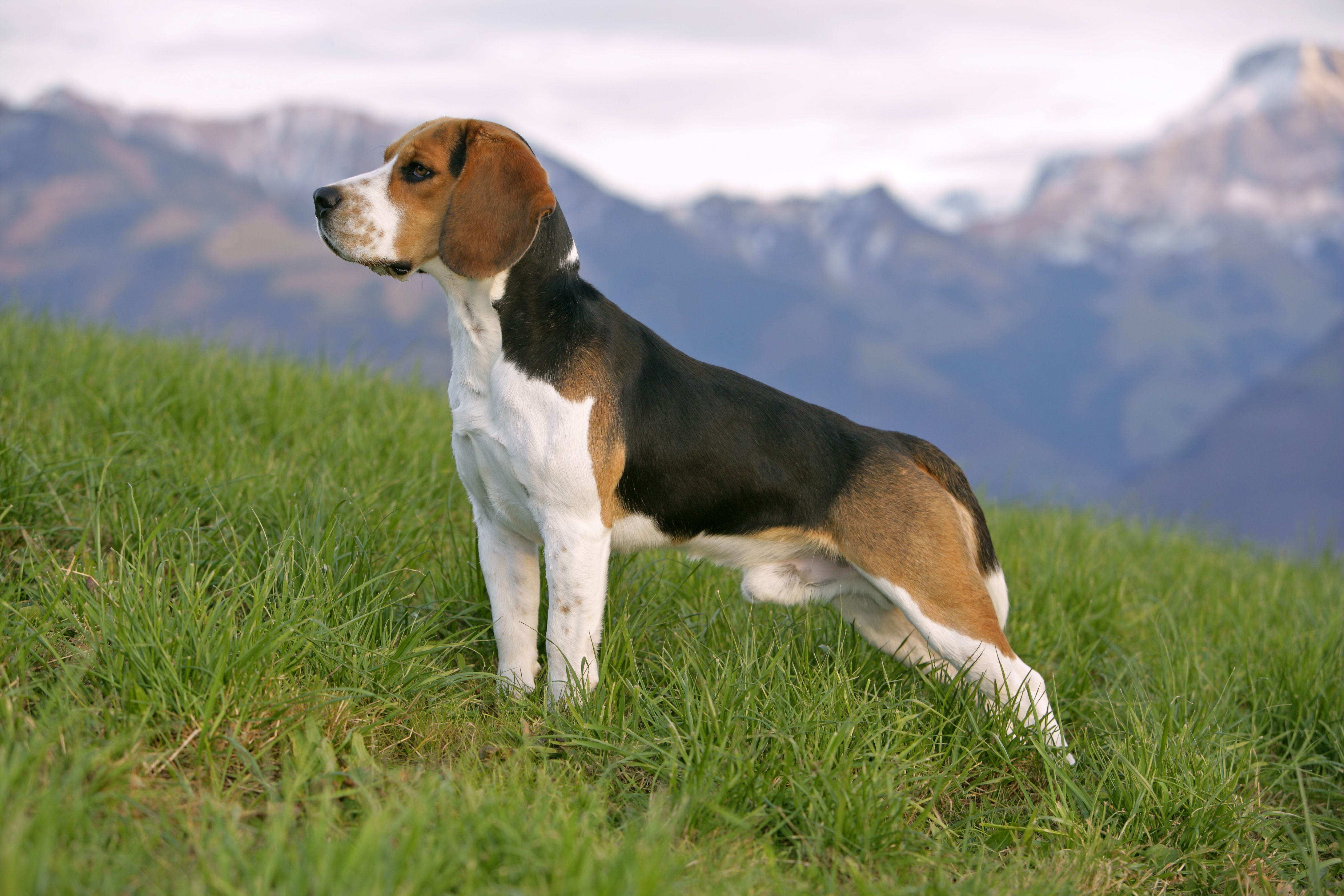 Best Dog Names For Male Beagles