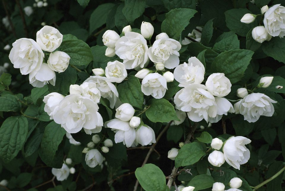 10 best shrubs with white flowers white flowers of the mock orange shrub mightylinksfo Gallery