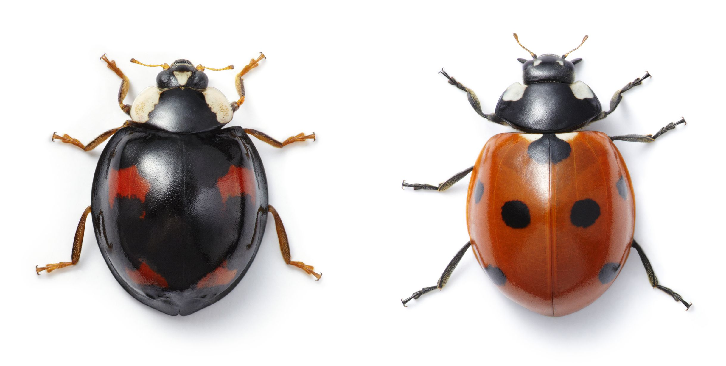 good and bad ladybugs how to tell the difference