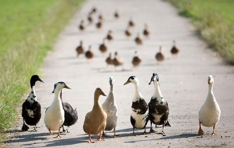 geese walking on country road