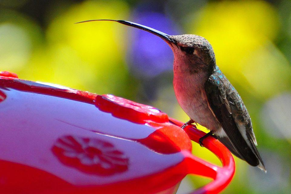 Hummingbird Tongue