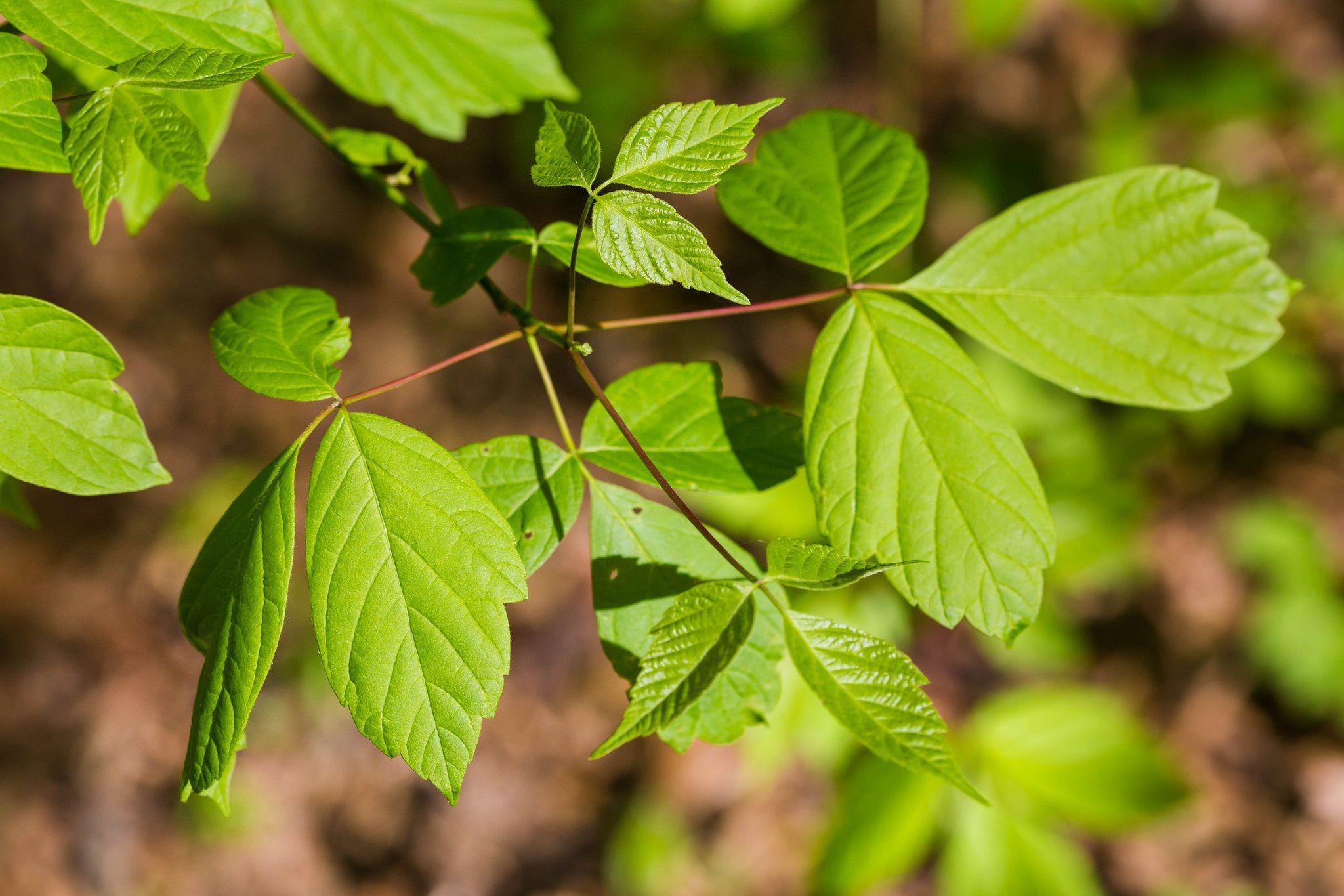 boxelder a common tree in north america