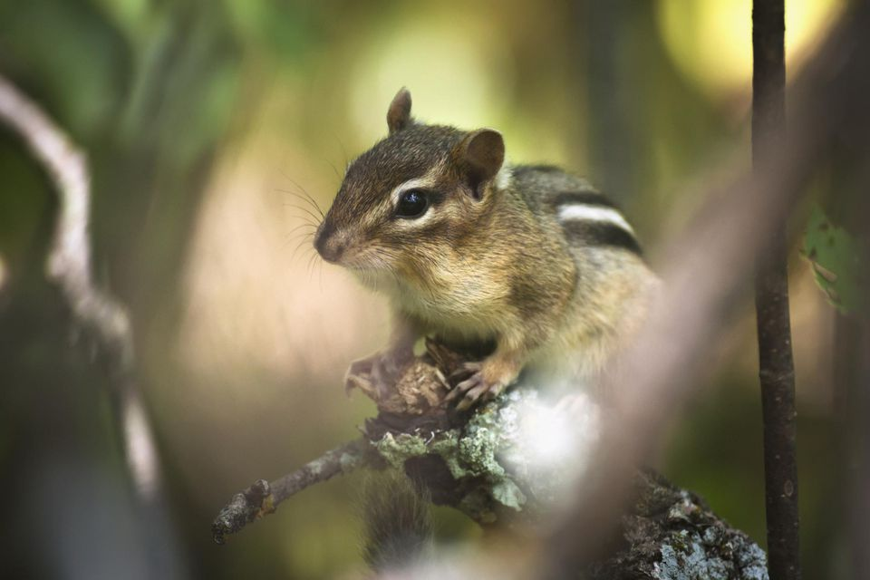 4 Good Ways to Get Rid of Chipmunks