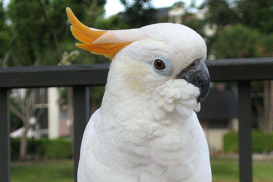 A pet Citron Crested Cockatoo.