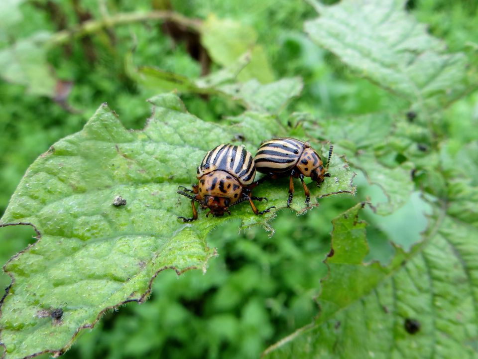 Close-Up Of Colorado Potato Beetles On Leaf