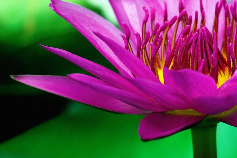 Lotus flower (Nelumbo nucifera), close-up