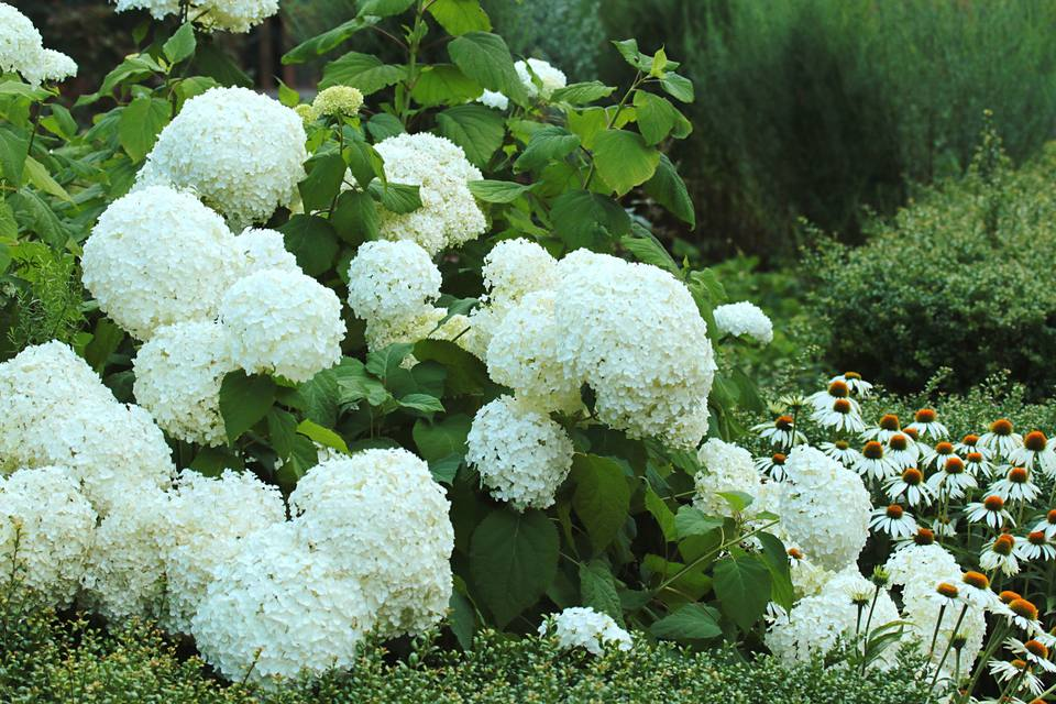 16 plants with big flowers hydrangea white hydrangea mightylinksfo Images