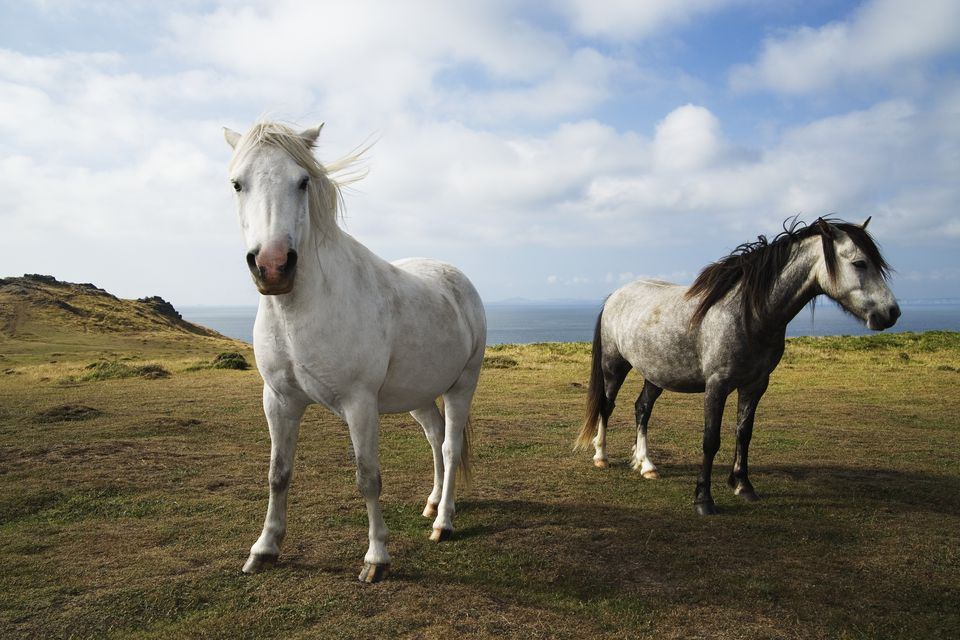 Two wild horses (Equus caballus) on coastal headland