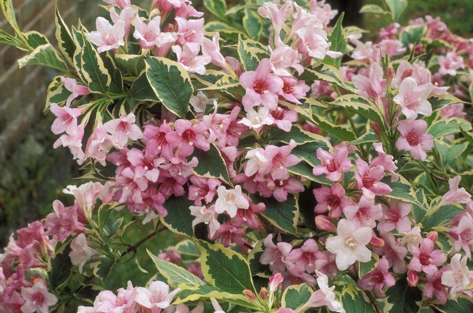 Weigela florida 'variegata'