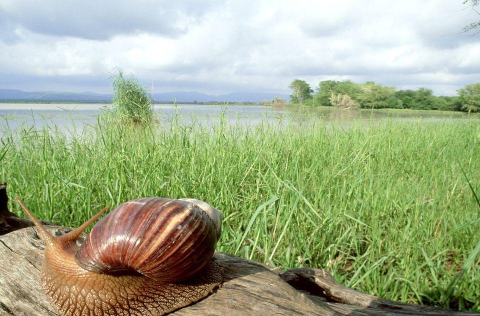 giant african land snail: achatina achatina mkuze zululand