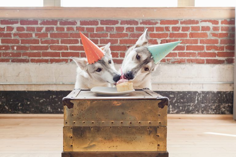 Portrait of two husky dogs in party hats sharing cupcake