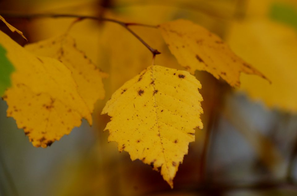 Leaves (fall foliage) of river birch tree.