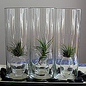 container gardening picture of air plants or tillandsia in glass containers