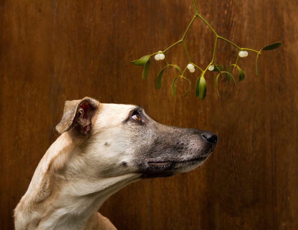Mistletoe Dog