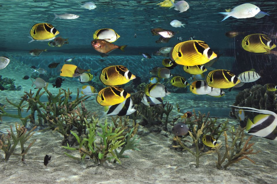 Butterflyfishes Swimming above the Coral